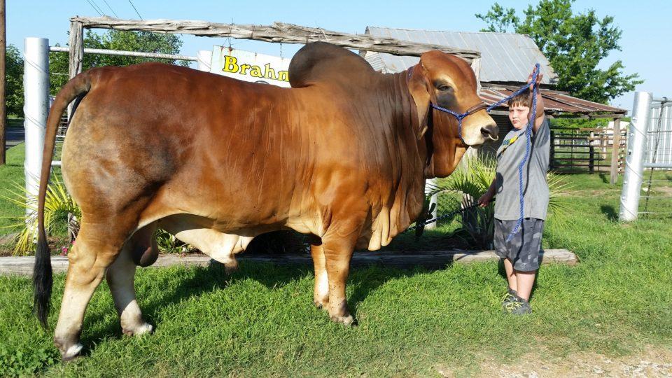 Swaner Brahmans - Champion Show Brahman Cattle
