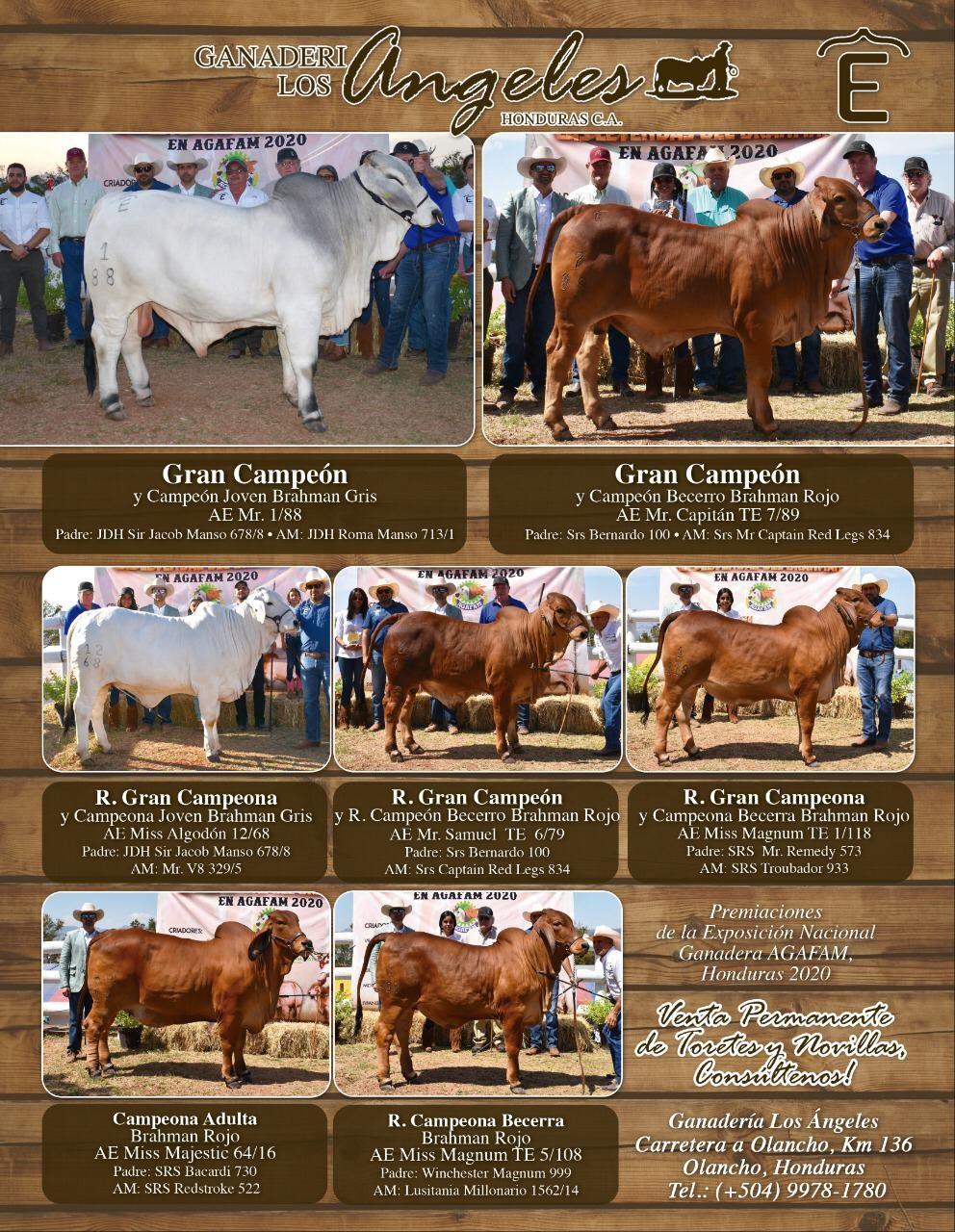 Swaner Brahmans Honduras Brahman Cattle Champion Genetics