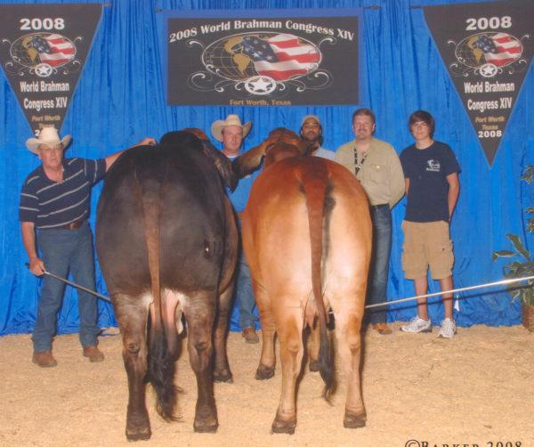 Swaner Brahmans Show Cattle
